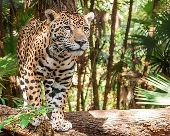 jaguars and private islands in Belize