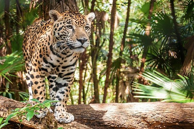 Jaguar tracking