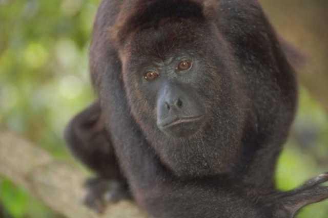 Howler monkey in Belize