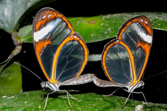 Glas wing butterflies